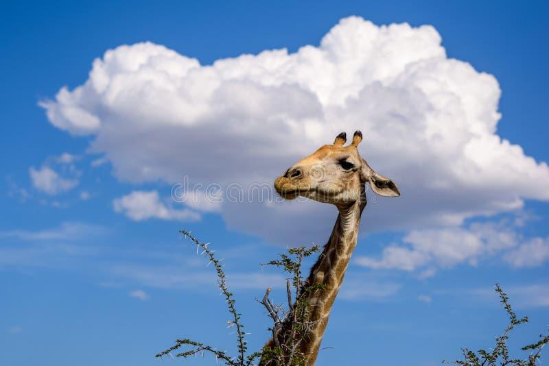 长颈鹿` s顶头吃金合欢树的看法的关闭离开 免版税库存照片