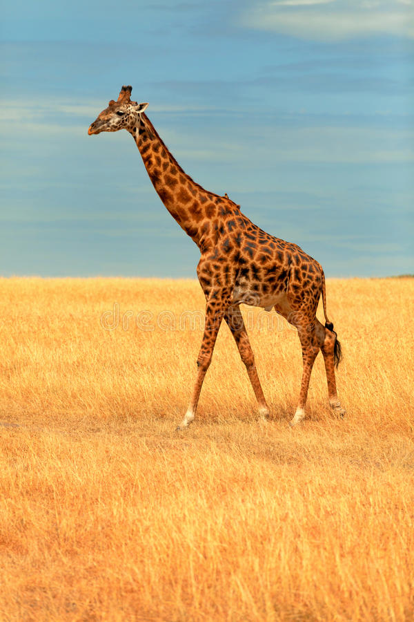 长颈鹿mara马塞语 库存照片