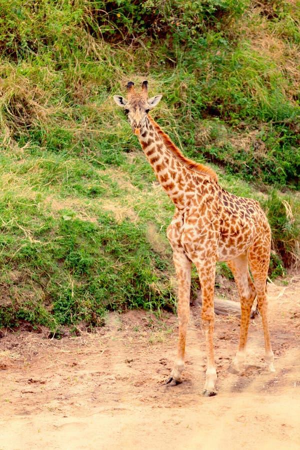 长颈鹿mara马塞语 图库摄影