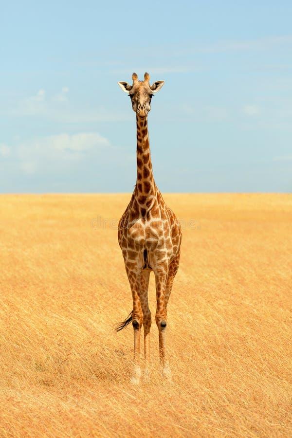 长颈鹿mara马塞语 免版税图库摄影