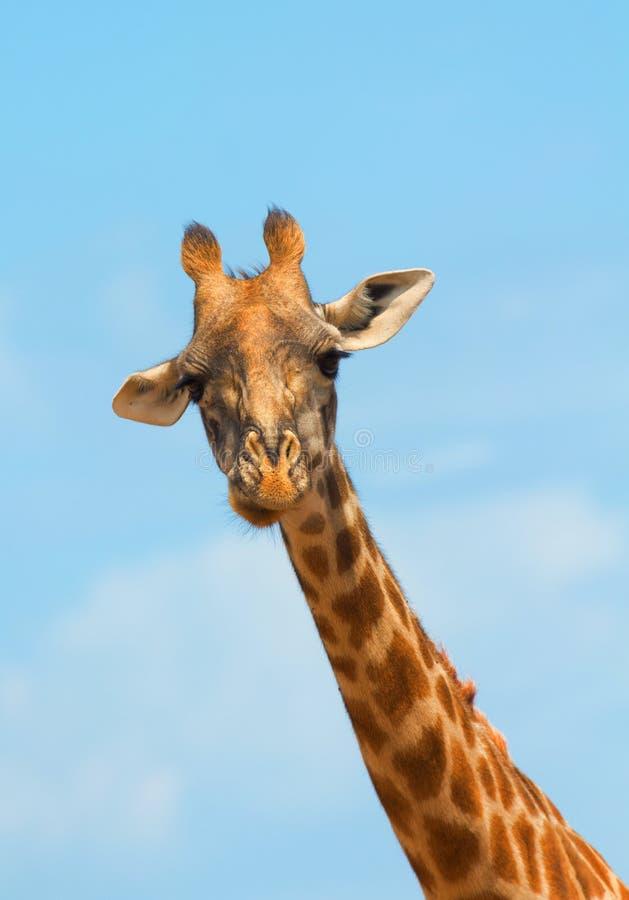 长颈鹿mara马塞语 免版税库存图片