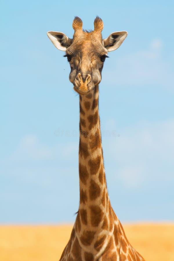长颈鹿mara马塞语 免版税库存照片