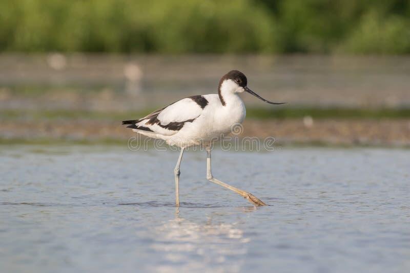 长嘴上弯的长脚鸟染色走 库存照片