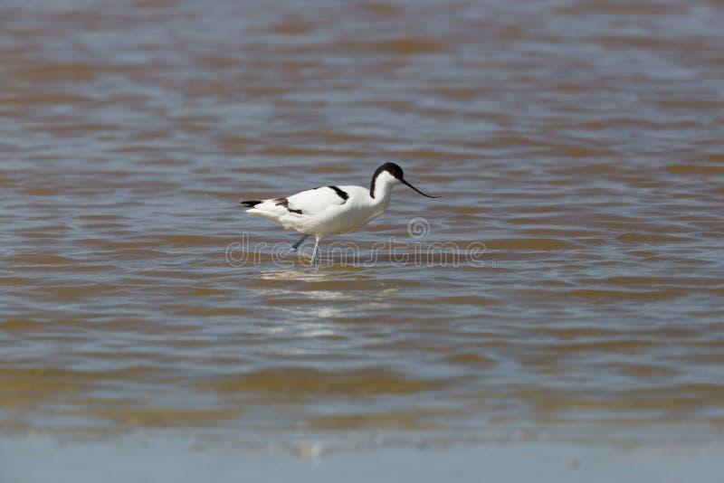 长嘴上弯的长脚鸟走在水中的Recurvirostra avosetta画象  图库摄影