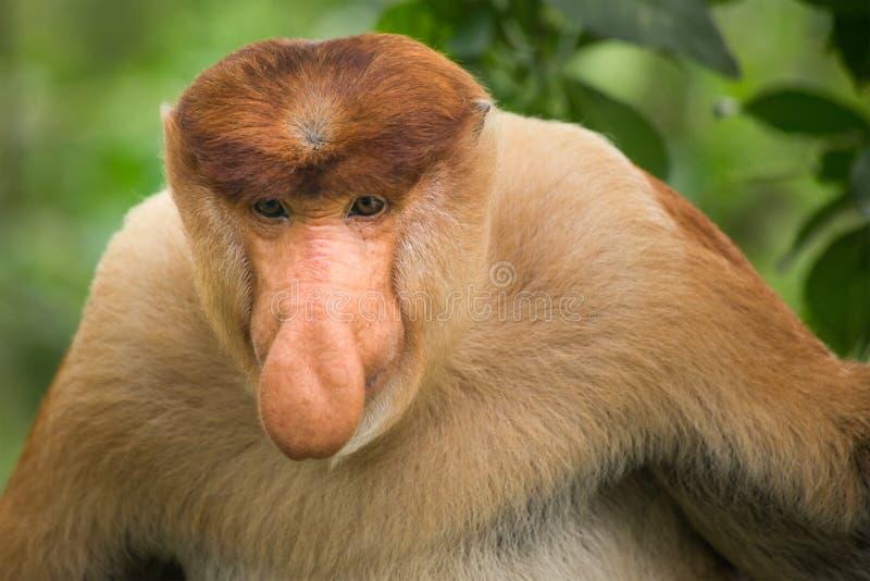 长鼻猴-山打根,婆罗洲,马来西亚 库存照片