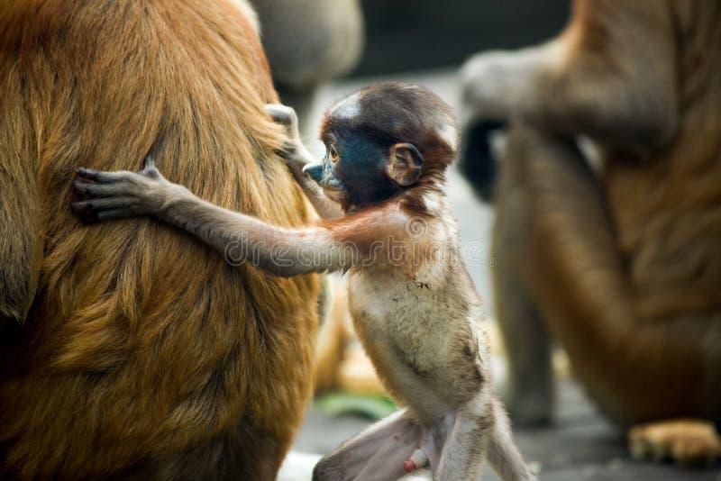 长鼻猴-山打根,婆罗洲,马来西亚 免版税库存照片