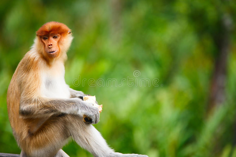 长鼻猴 图库摄影