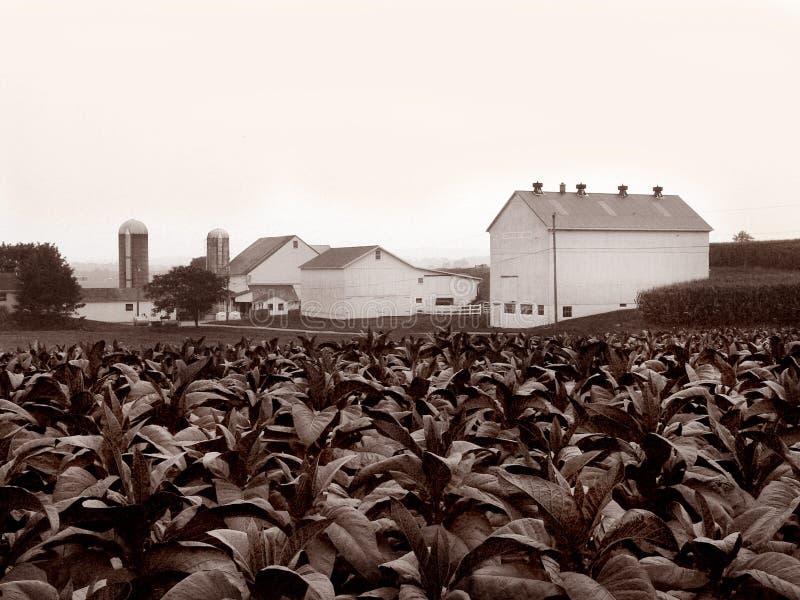 门诺派中的严紧派的农厂烟草 库存图片