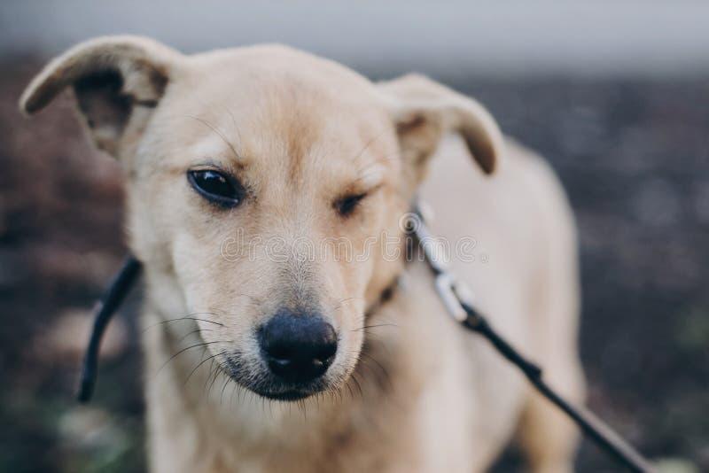 闪光激动黑眼圈和的逗人喜爱的金黄小狗画象在公园 狗风雨棚 走在城市的害怕的无家可归的小狗 免版税图库摄影