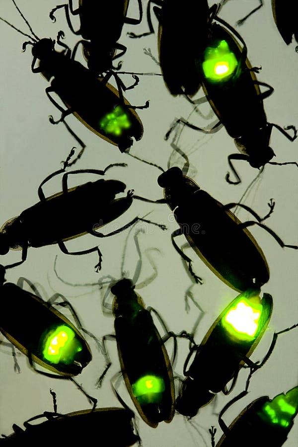 闪动在晚上的萤火虫-亦称这只甲虫是萤火虫 免版税库存图片