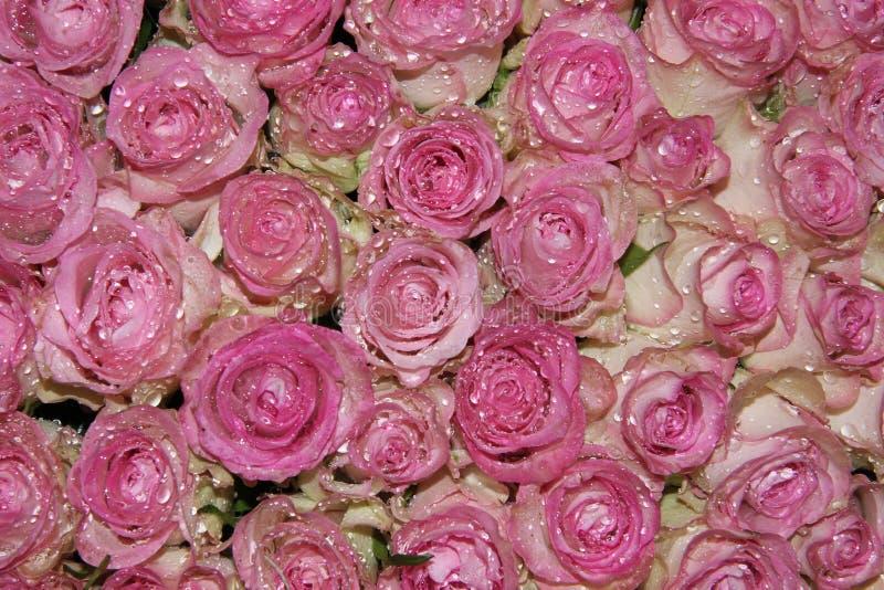 闪耀桃红色玫瑰 库存图片