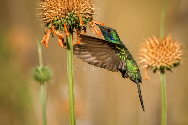 闪耀的紫罗兰色耳朵,Colibri coruscans,盘旋在橙色花旁边,从高处的鸟,machu picchu 库存照片