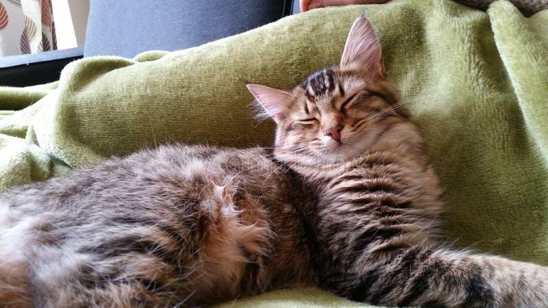 闭合的眼睛小猫 图库摄影