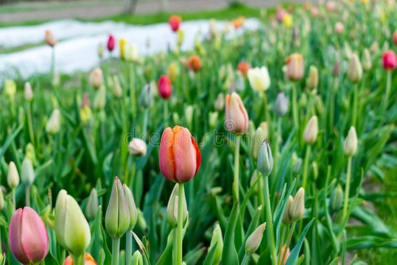 闭合的郁金香的美好的领域 库存照片