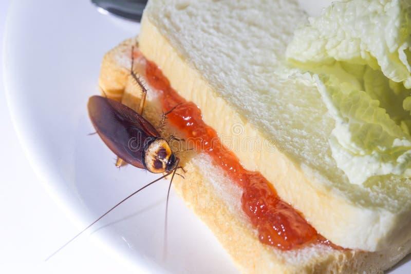 问题在于居住在厨房的蟑螂的房子里 吃在白色背景的蟑螂全麦面包 免版税库存图片