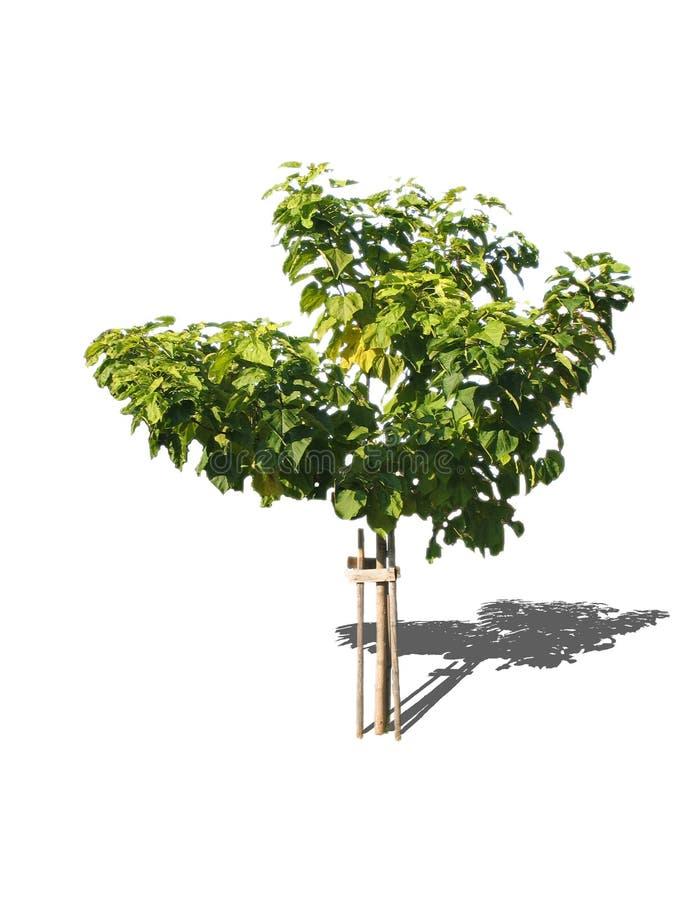 阔叶树的结构树 免版税库存照片
