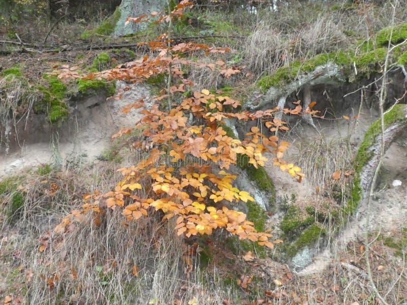 阔叶烟草的森林地森林在与棕色叶子的秋天 免版税库存图片