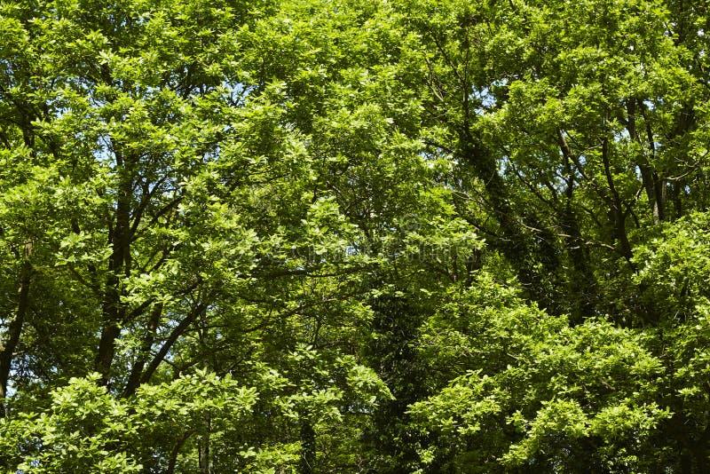 阔叶烟草的森林-树加冠在森林边缘 免版税库存图片