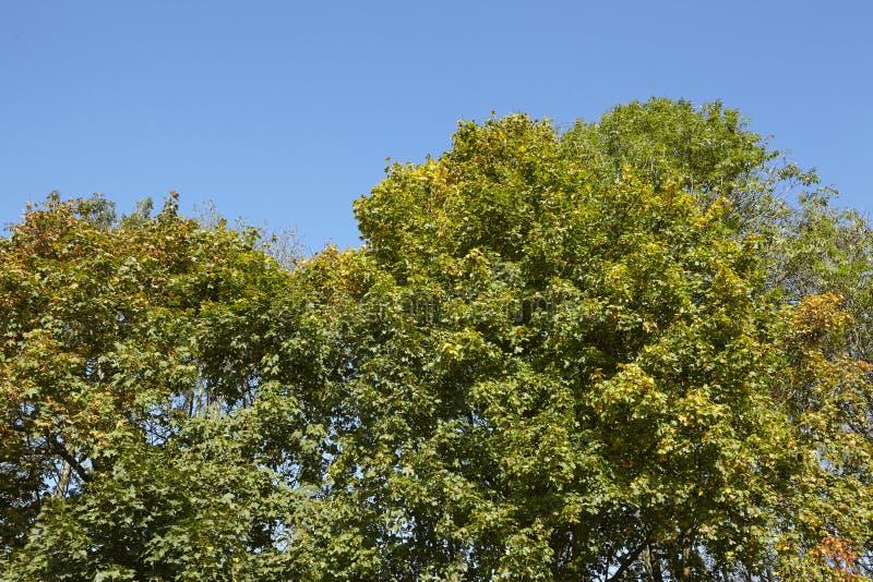 阔叶烟草的森林-树加冠在森林边缘 免版税库存照片