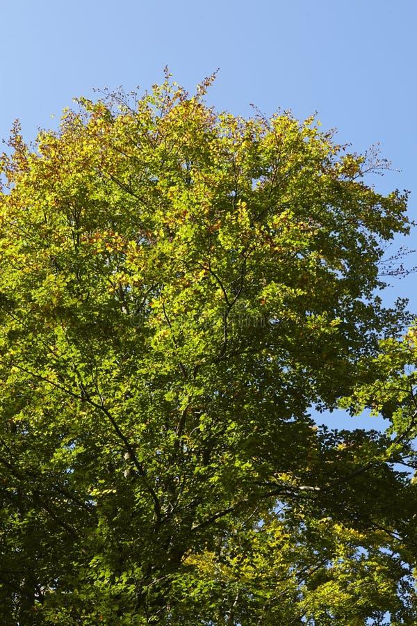 阔叶烟草的森林-树加冠在森林边缘 库存图片