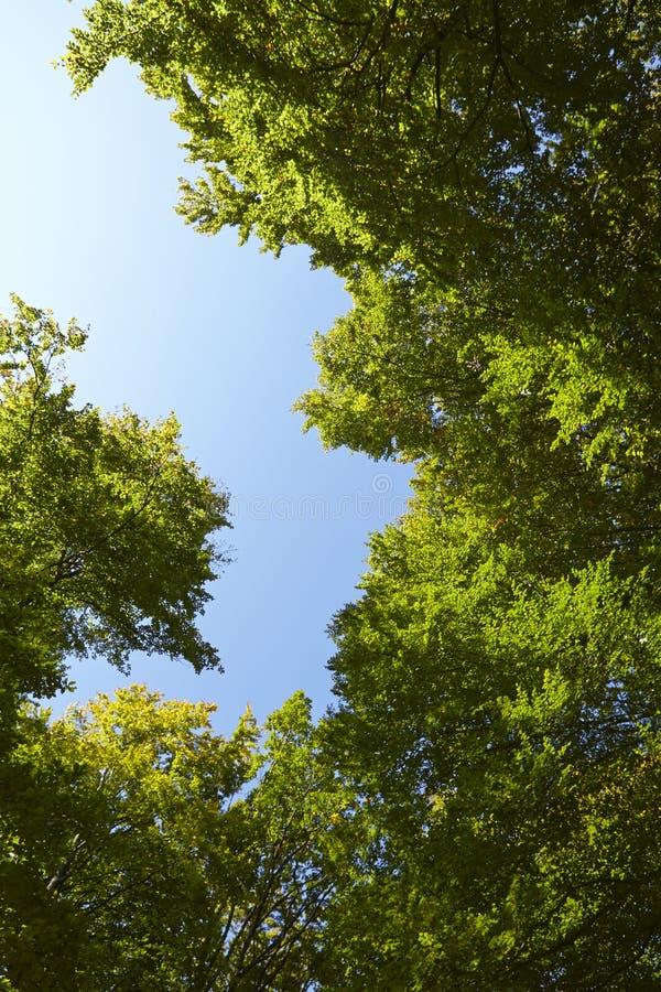 阔叶烟草的森林-树在森林沼地加冠 库存照片