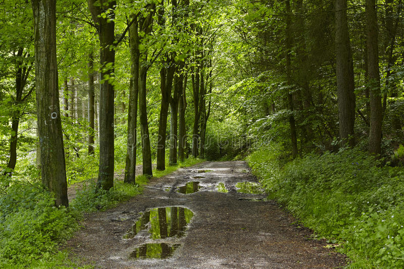 阔叶烟草的森林-森林道路 库存图片