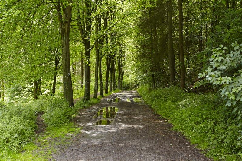 阔叶烟草的森林-森林道路 库存照片