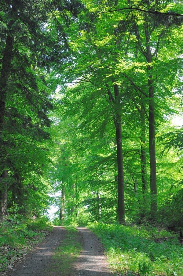 阔叶烟草的森林 库存图片