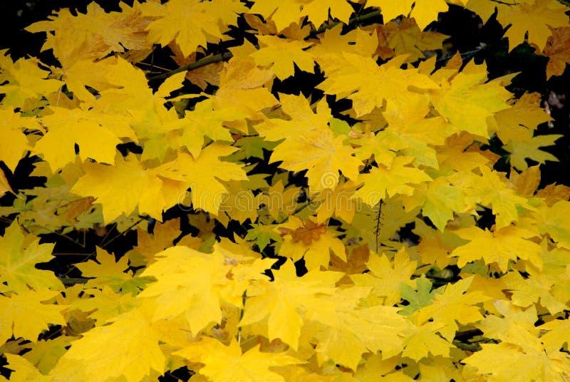 阔叶烟草的槭树 免版税图库摄影