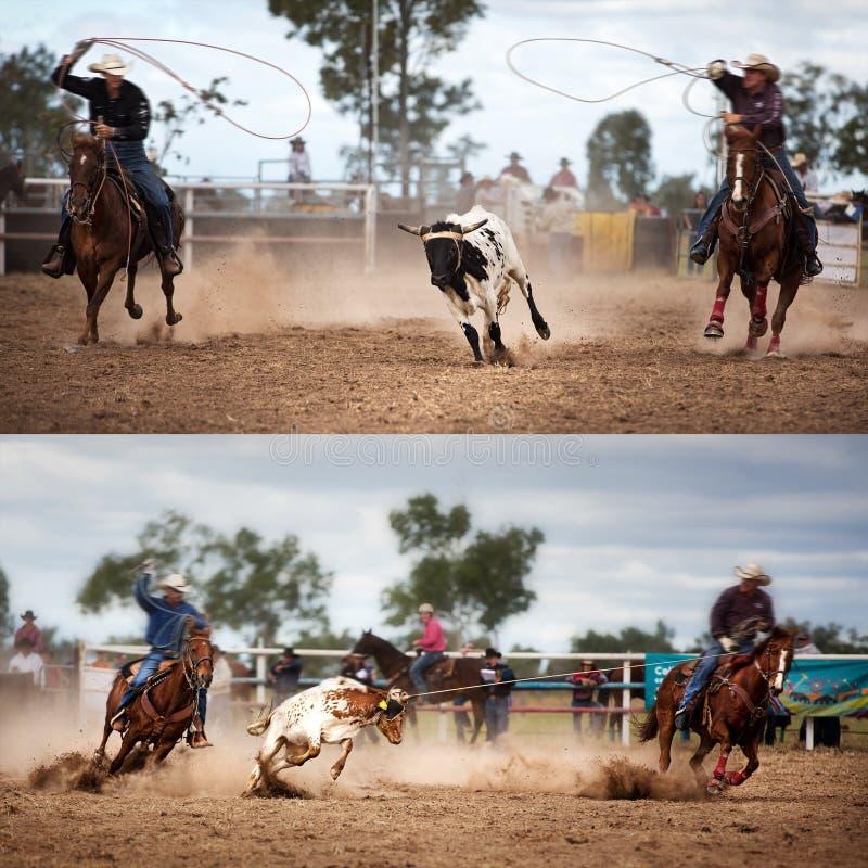 队小牛绕绳圈地拼贴画 库存图片