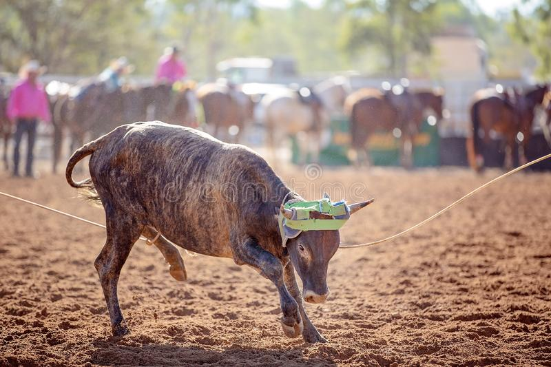 队小牛绕绳在澳大利亚国家圈地 图库摄影