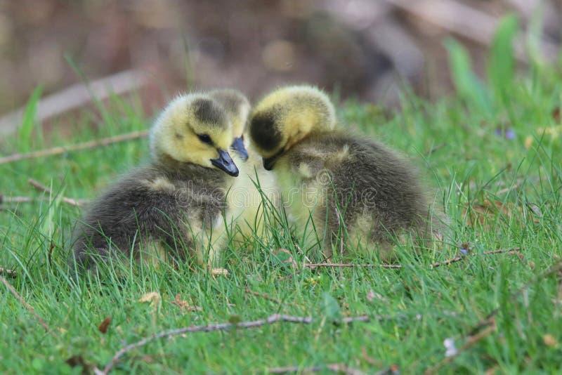 队杂乱的一团-三只幼鹅 免版税库存图片