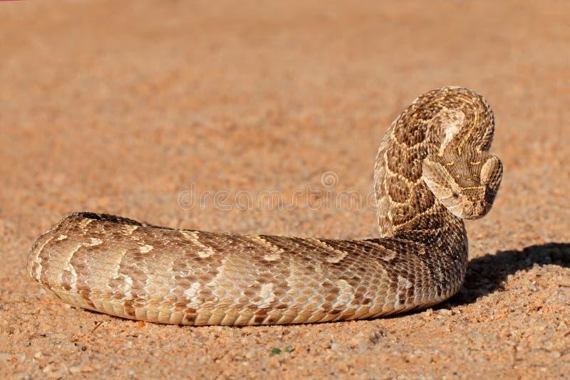 防御鼓腹毒蛇 免版税图库摄影
