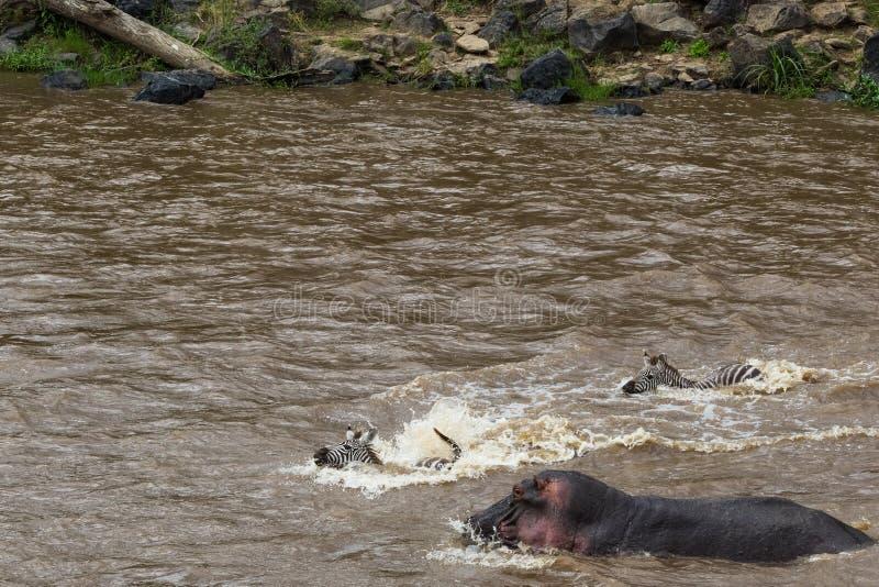 防水层和河马在有蹄类动物的巨大迁移的道路 肯尼亚mara马塞语 免版税库存照片