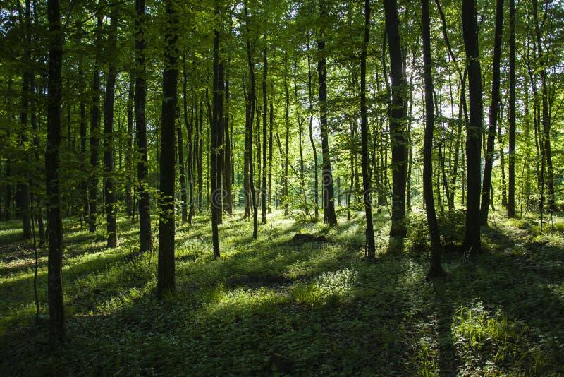 阳光和阴影在树后的森林里 免版税图库摄影