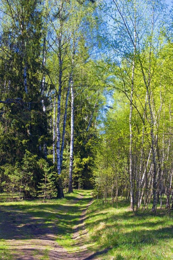 阳光明媚的春林 库存图片