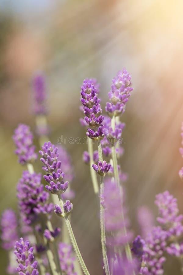 阳光点燃的淡紫色花-光束 免版税库存图片