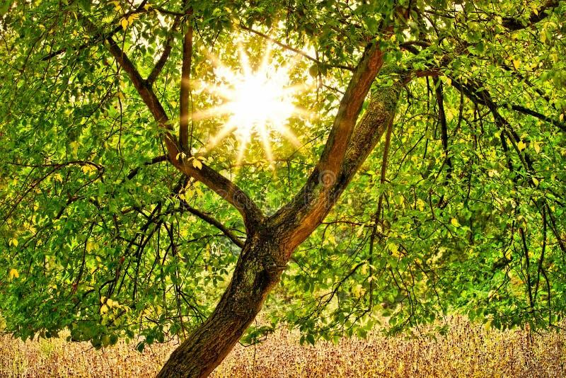 阳光通过树 免版税库存照片