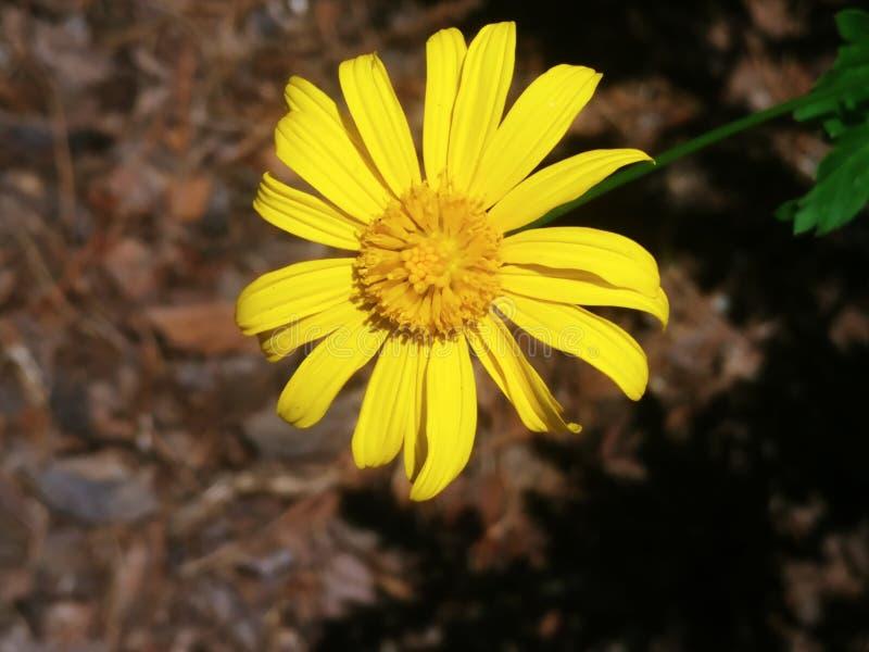 阳光黄色雏菊完美 免版税库存图片