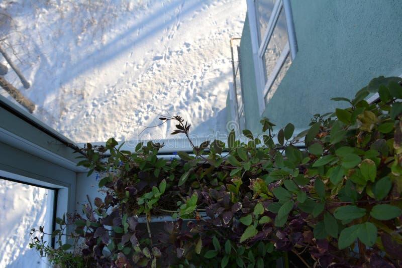阳台的小庭院在冬天 Cobaea绿色叶子在室外的家和的雪的 库存照片