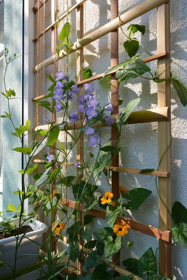 阳台的开花的庭院 风轮草persicifolia紫罗兰色花和藤本植物橙色花在木格子的 图库摄影