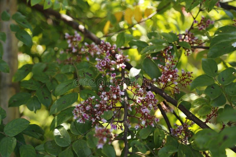 阳桃花有绿色背景 免版税库存照片
