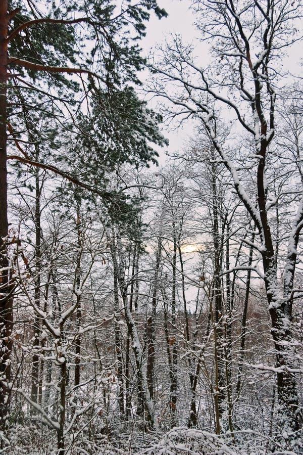 阴沉的天气的冬天森林 免版税图库摄影