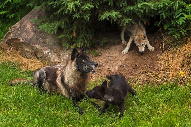 黑阶段灰狼(天狼犬座)和两只小狗 免版税库存图片