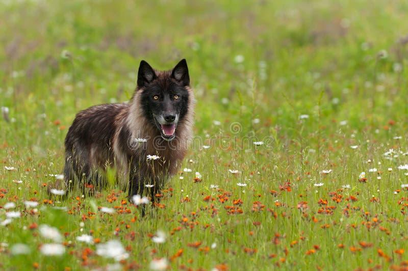 黑阶段灰狼(天狼犬座)在领域站立 图库摄影