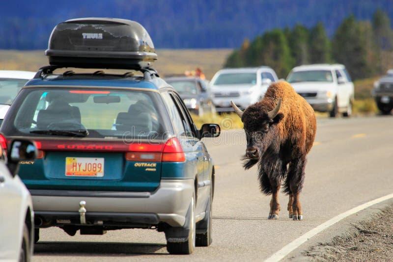 阻断交通的北美野牛在黄石国家公园,怀俄明 免版税库存图片