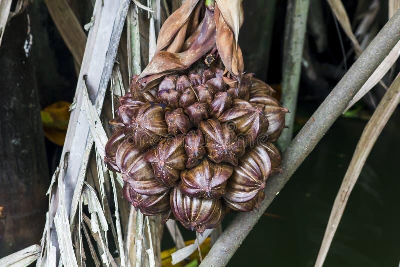 阿伦加pinnata是棕榈家庭的果子 免版税库存照片