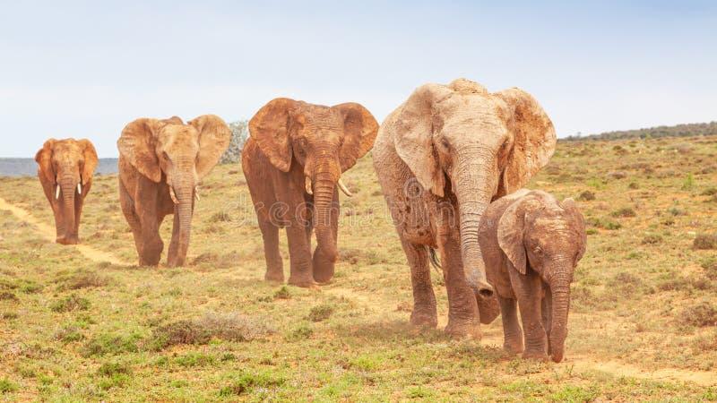 阿多的大象游行 库存图片