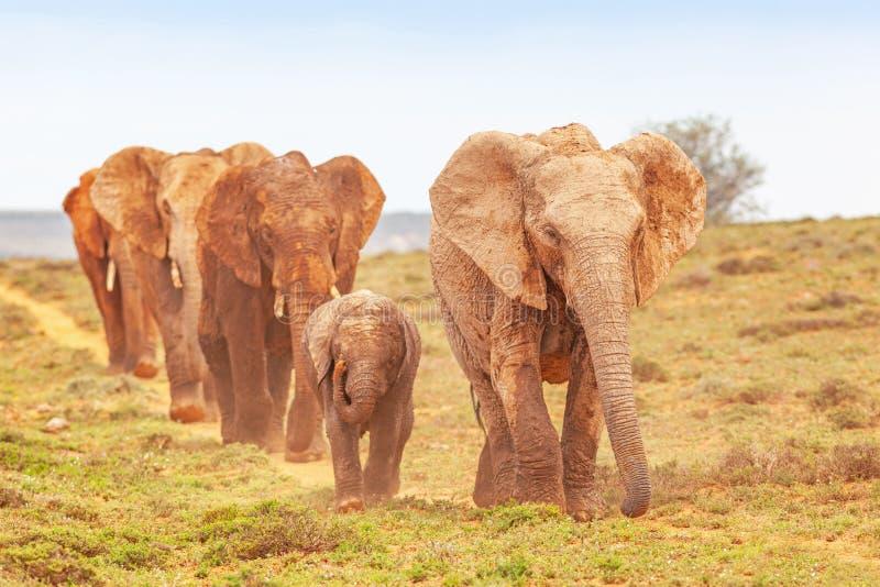 阿多的大象游行 免版税库存照片