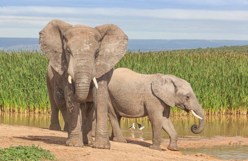 阿多象国家公园大象 免版税库存图片